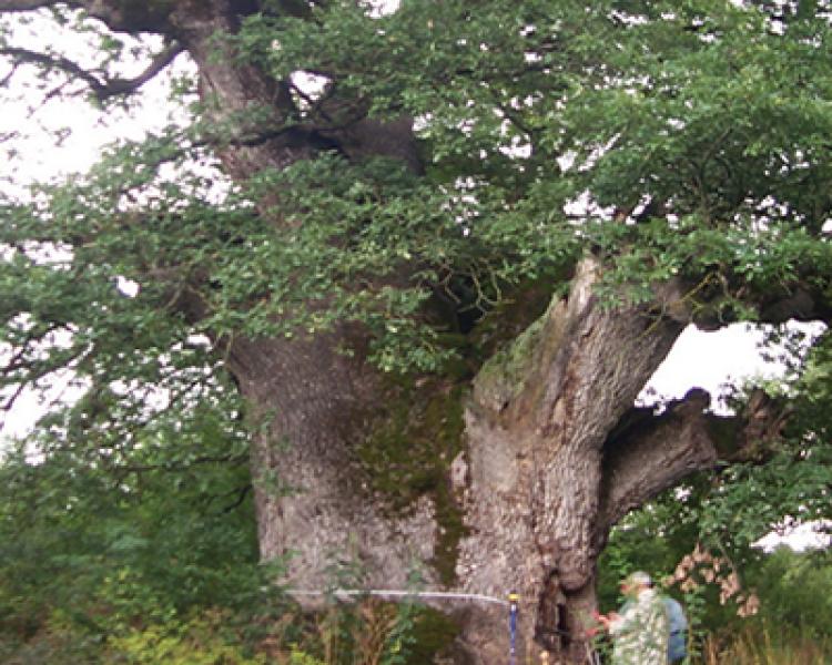 Anıt ve Korunmaya Değer Ağaç Kavramları (1)